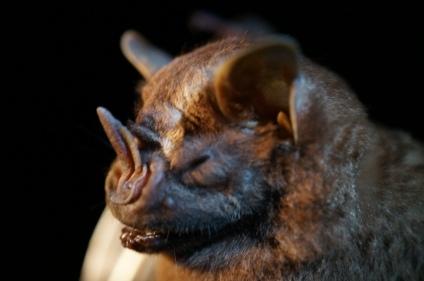 Artibeus lituratus, great fruit-eating bat. Panama. photo: KPatriquin