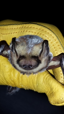 Hoary bat,  Lasiurus cinereus  Photo: K.Patriquin