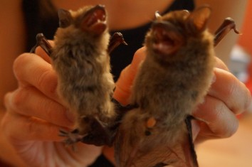 Can you guess who is ready for hibernation? Both bats are adult big browns! Photo: KPatriquin