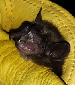 Young big brown bat with minimal tooth wear. Compare her canine teeth to those on the right! Photo: KPatriquin