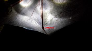 Gap in knuckle typical of juvenile bats. Photo: KPatriquin