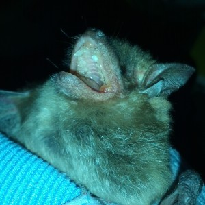 Older big brown bat - her canine teeth are almost completely gone! Photo: CGuy