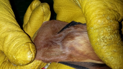 Fuzzy tails help red bats stay warm when they are hanging out in leaves on branches. Photo: KPatriquin