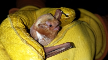 Female red bat, Lasiurus borealis . Photo: KPatriquin