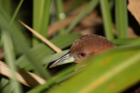Laterallus albigularis White-throated crake. Apparently quite an elusive rail. I saw this bird every night on my hunt for katydids. I also heard it a lot as it makes a ridiculously loud sound for its size!