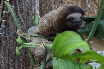 Three-toed sloth in my backyard!