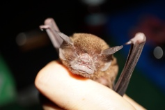Pteronotus parnellii Can you see why he's called the moustached bat?