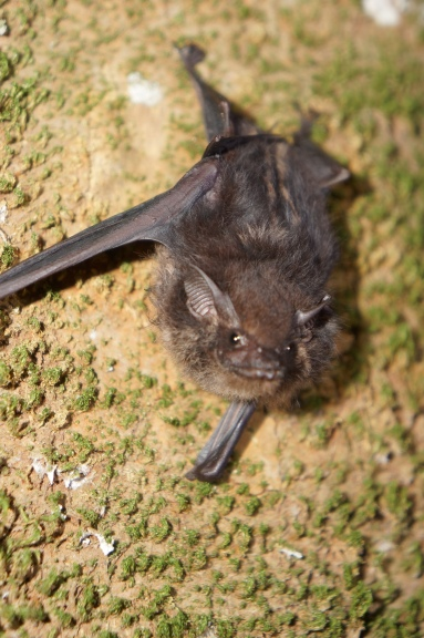 Saccopteryx bilineata I've read so much about this bat - the males make a cologne in their wing sacs that consists of spit and urine and uses that to attract females!!! WHAT? They also sing!