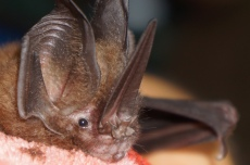 Lonchorhina aurita. Check out that nose leaf! Like all nose leaf bats, this nose is not for smelling but echolocating!!
