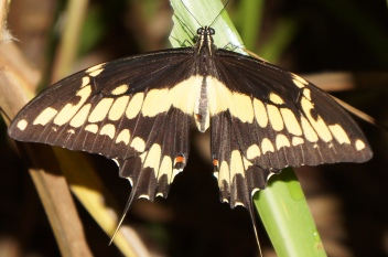 Thaos swallowtail