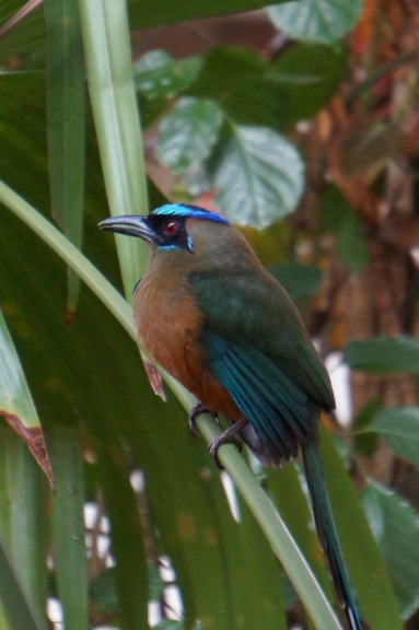 This lovely motmot visited every evening.