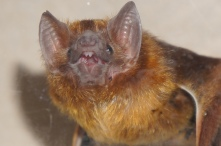 Vampire bats always look like they're smiling!