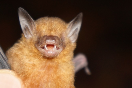 A happy little Myotis species.